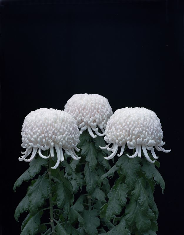 Tomoko Yoneda, Chrysanthemums (from the Cumulus series), 2011. © the artist. Courtesy ShugoArts, Tokyo