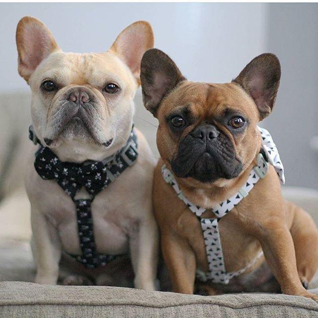 French Bulldog Precious Pets