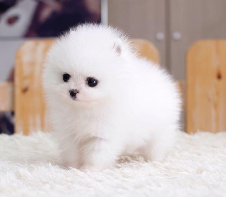 2Super Tiny Micro Pomeranian puppies For Adoption Text