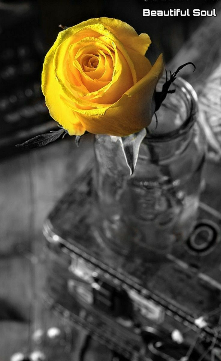 Pin By Siobhan Rieck Zahra On Guldeste Color Splash Yellow Flowers Single Rose