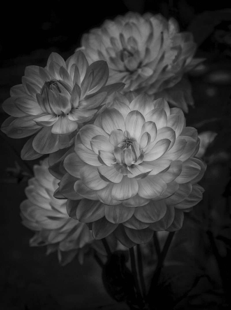 Black And White Dahlia Flowers Petals Beautiful Photography