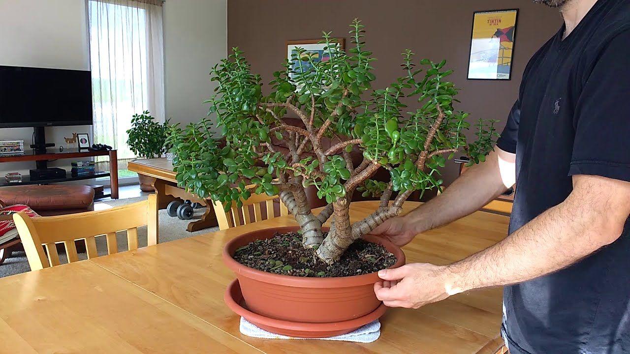 Pruning Jade Plants Crassula Money Tree Youtube In 2021 Money Tree Plant Jade Plants Plants