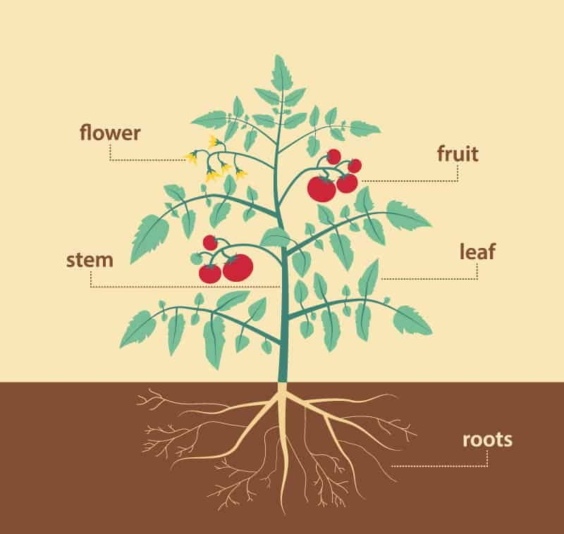 Parts Of A Plant And Their Functions With Diagram Trees Com In 2021 Tomato Plants Parts Of A Plant Plants