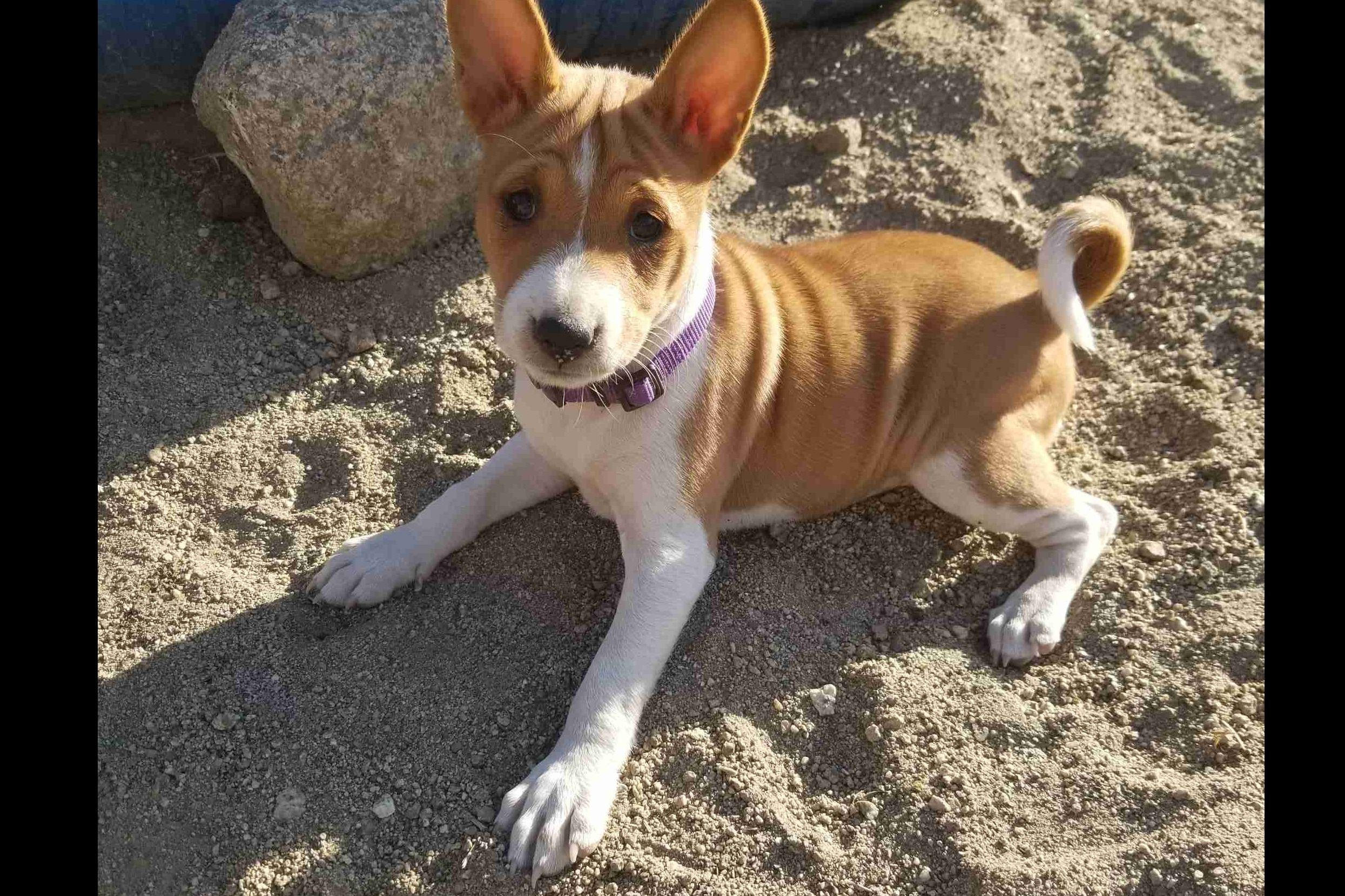 Avicy Basenji Has Basenji Puppies For Sale In Anza Ca On Akc