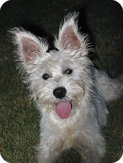 Westie, West Highland White Terrier/Schnauzer (Miniature