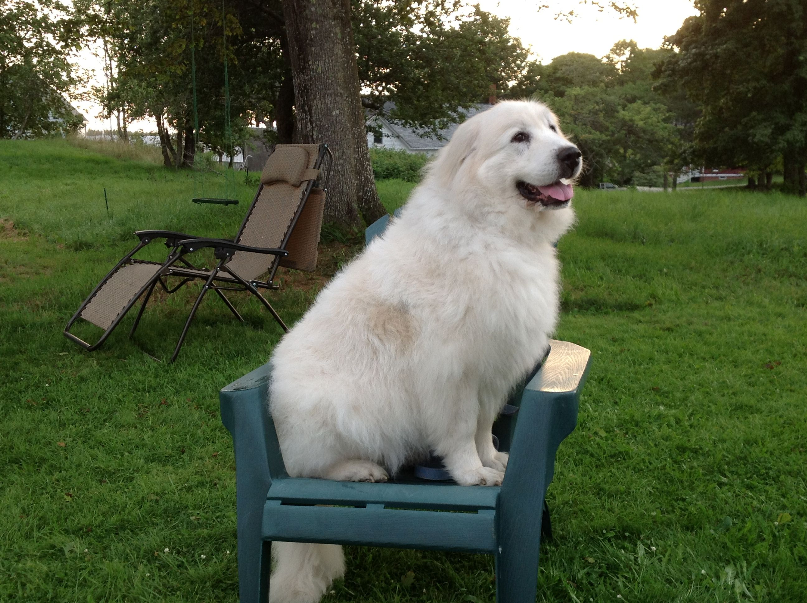 Lap Dog Goodnight Pinterest With Images Great Pyrenees Dog