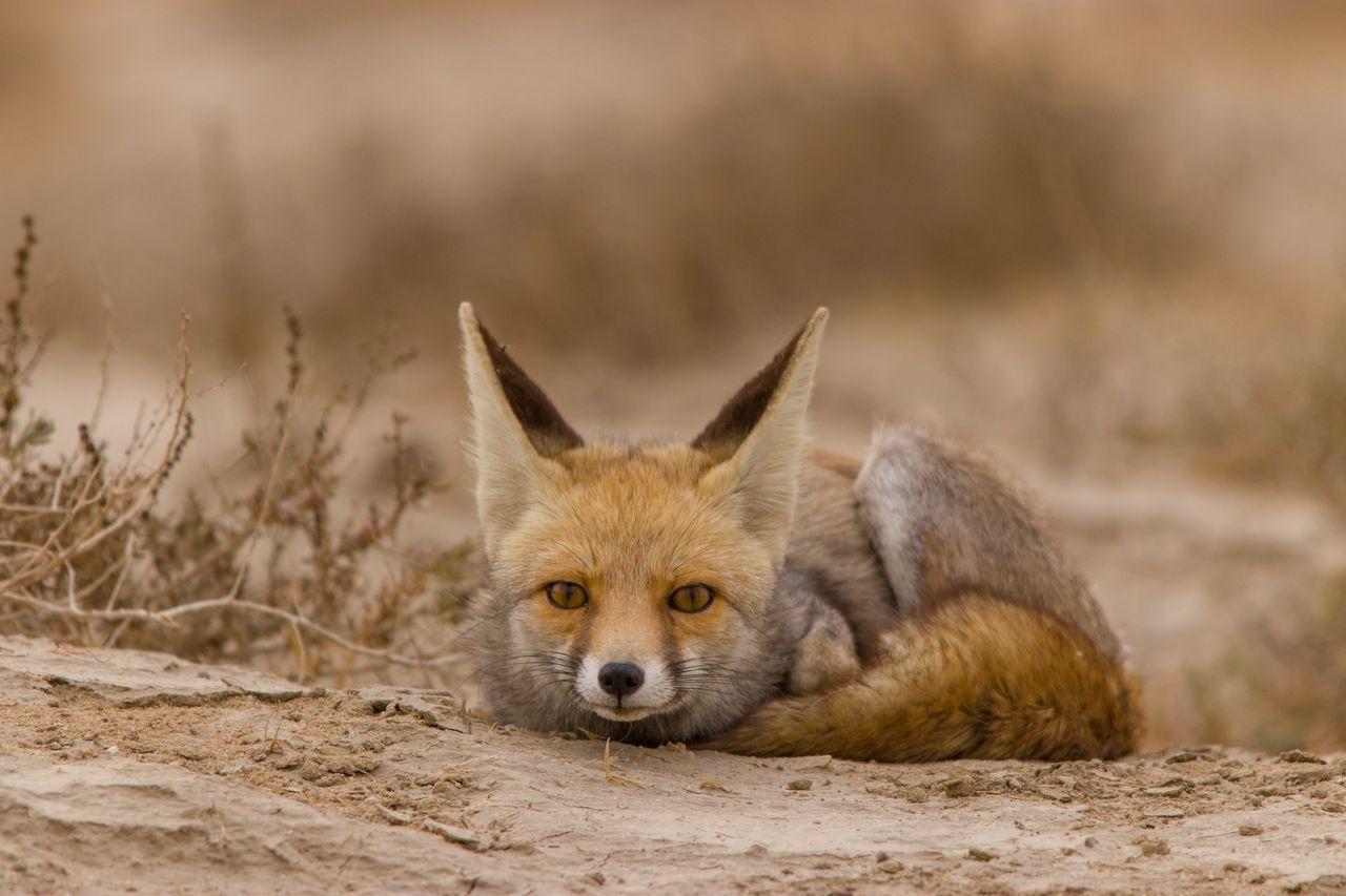Aura Of Pride..! | Fox pups, Animals of the world, Cute fox