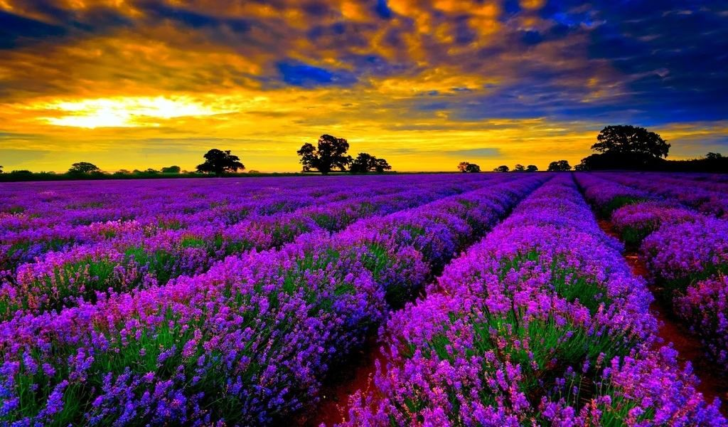 15 Most Picturesque Flower Fields In Te World Lavender Franceprovence