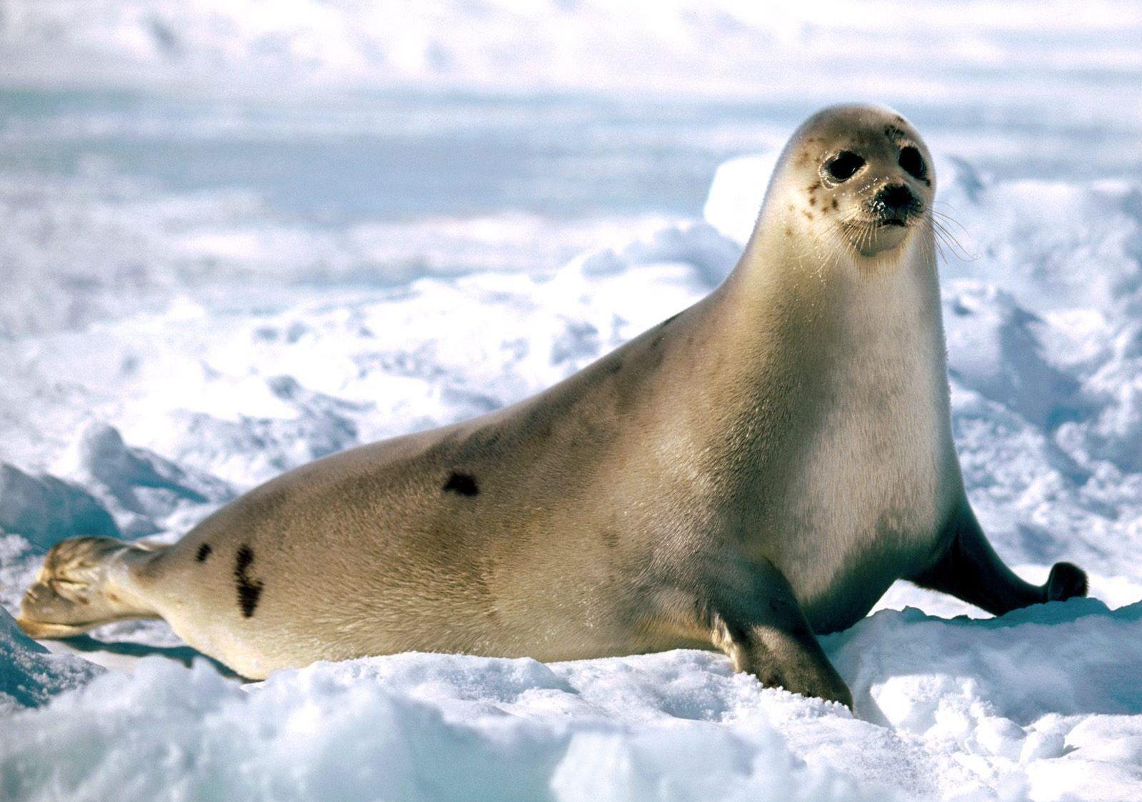 Foca Arpa Foca Animales Polares Animales