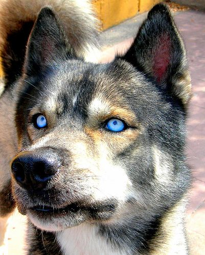 Baby S Got Blue Eyes Husky With Blue Eyes Baby Huskies Agouti