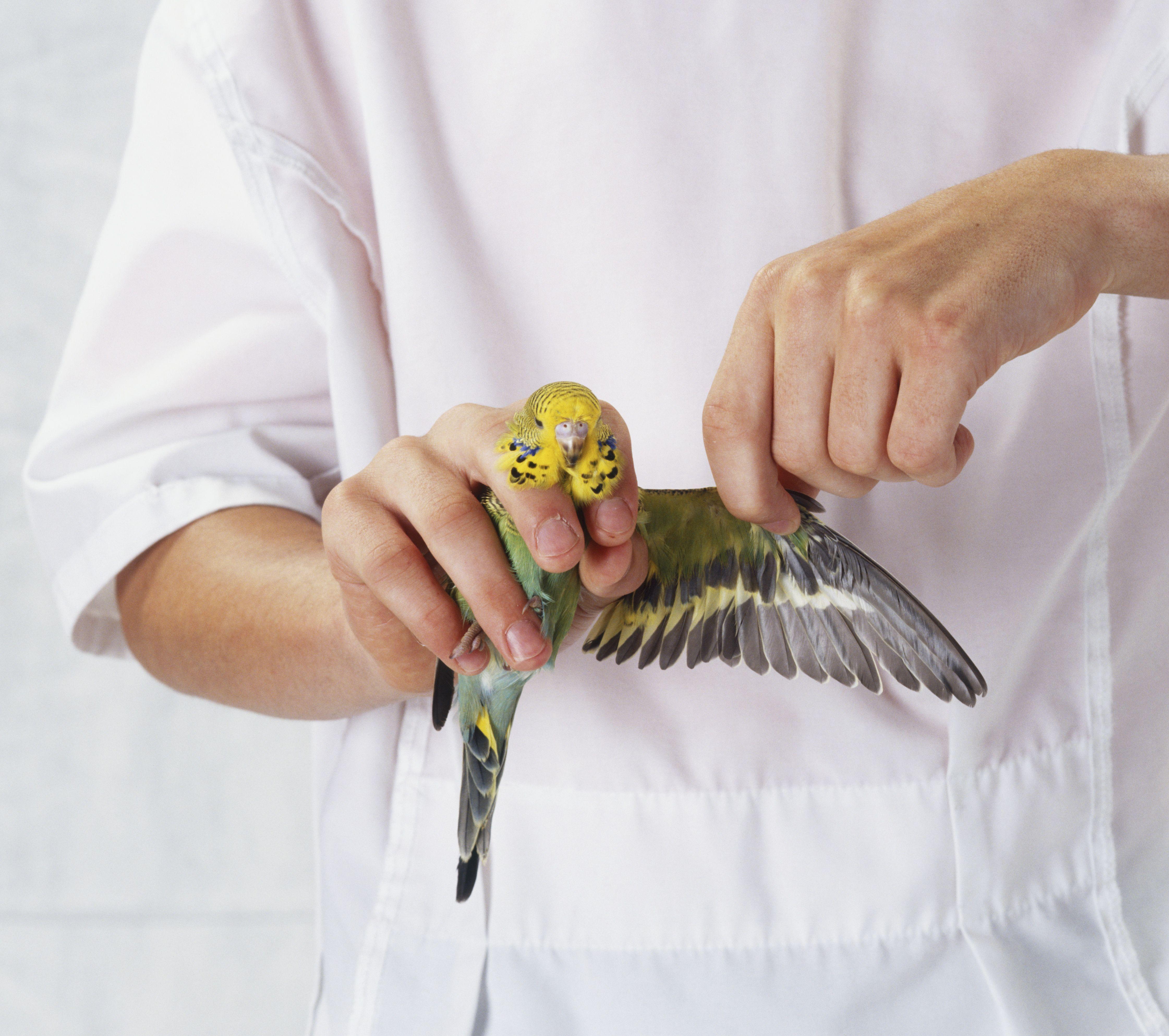 How To Safely Clip Your Bird S Wings Bird Wings Budgies Bird Birds