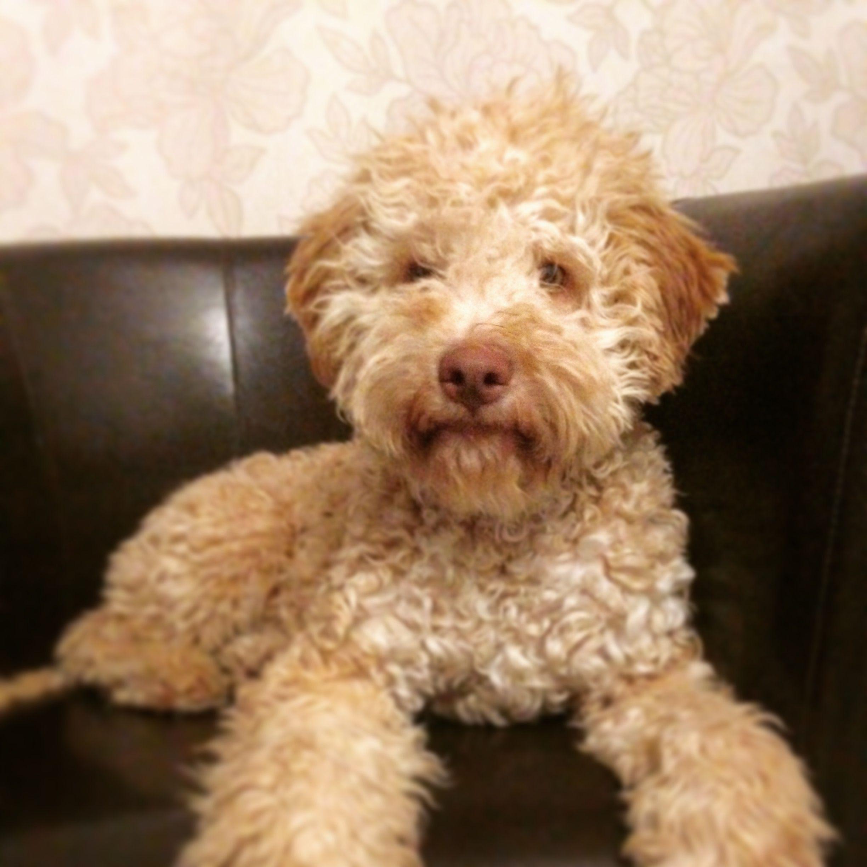My Lagotto Romagnolo Puppy Beauty Animali