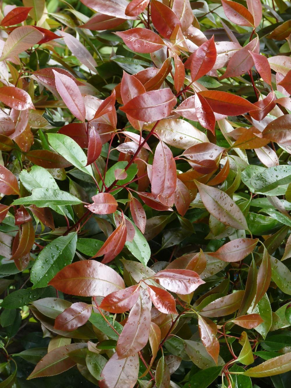 Die Glanzmispel Red Robin Photinia X Fraseri Ist Eine Immergrune Pflanze Die Sich Ideal Als He Immergrune Pflanzen Pflanzen Immergrune Pflanzen Winterhart