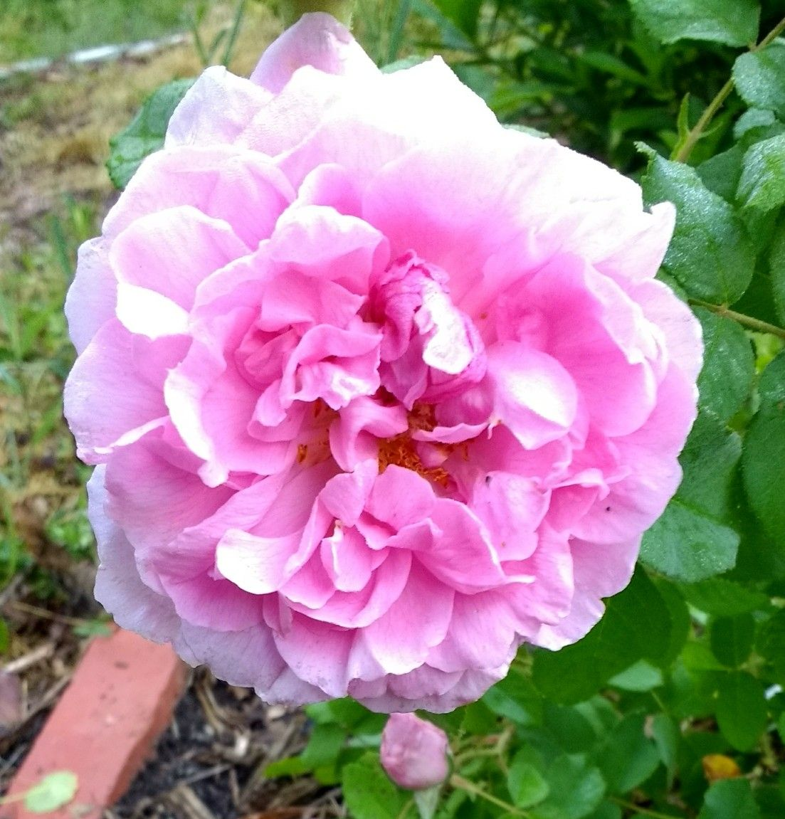 one of two roses i lost track of. pink gruss an aachen? comte de