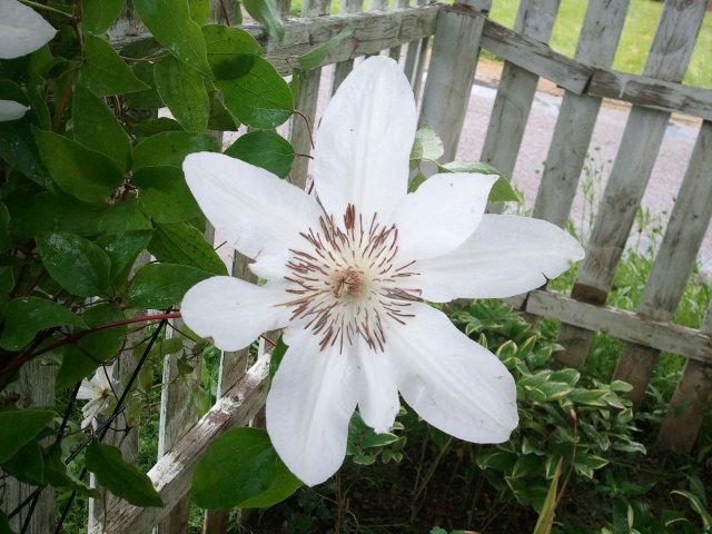 My White Clematis