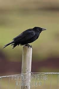 CROW ON FENCE POST - Bing Images
