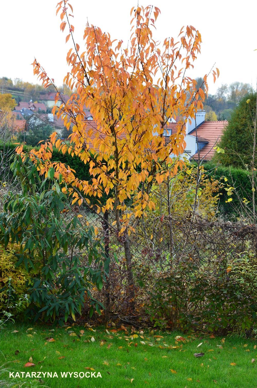 Kwanzan Cherry By Magiasoutache On Deviantart Kwanzan Cherry Cottage Garden Dream Garden