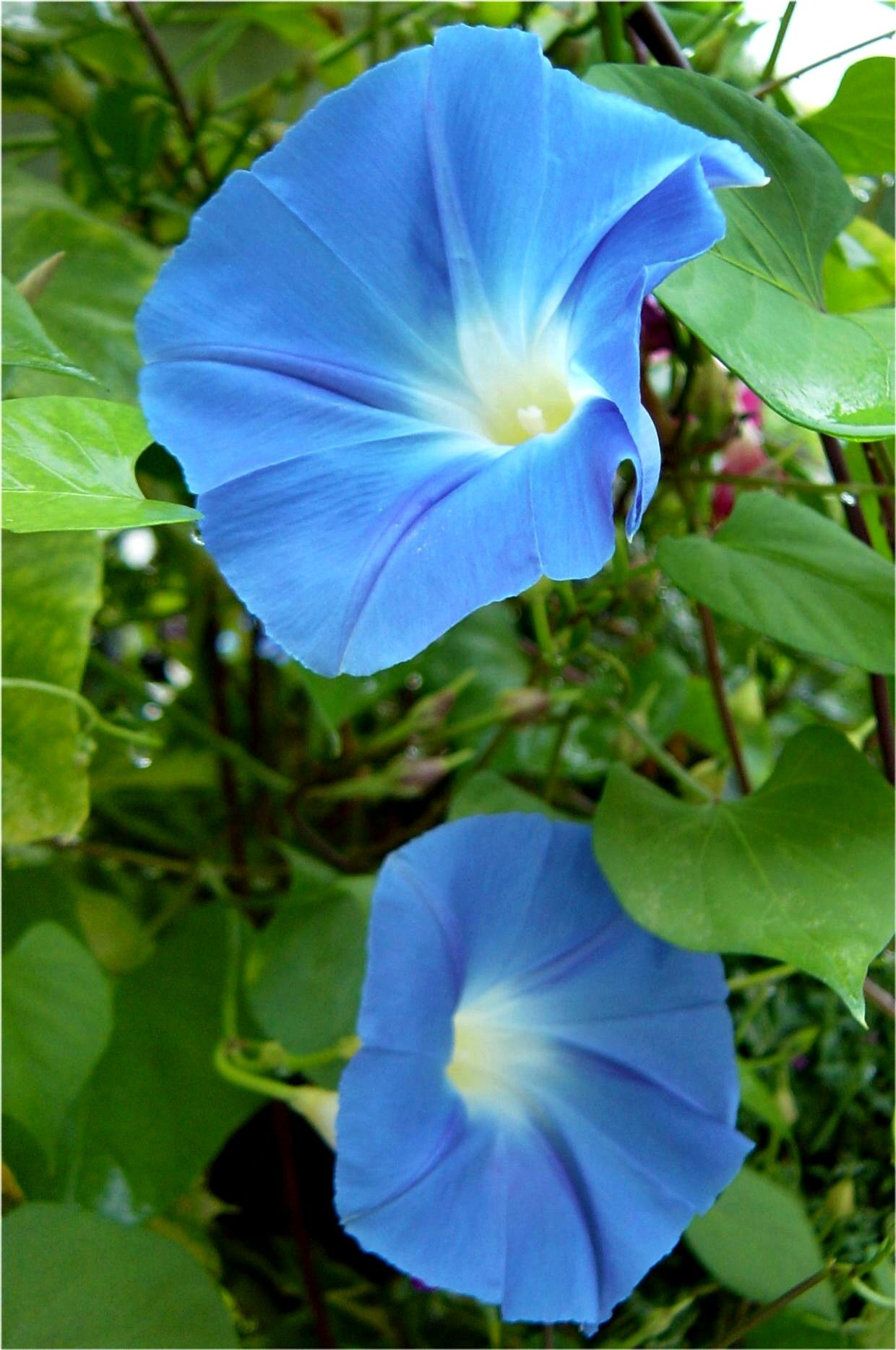 Blue Morning Glory I Depend On This Vine For Privacy On Our Deck Such A Fast Growing And Lush Vine Add Morning Glory Flowers Beautiful Flowers Garden Vines
