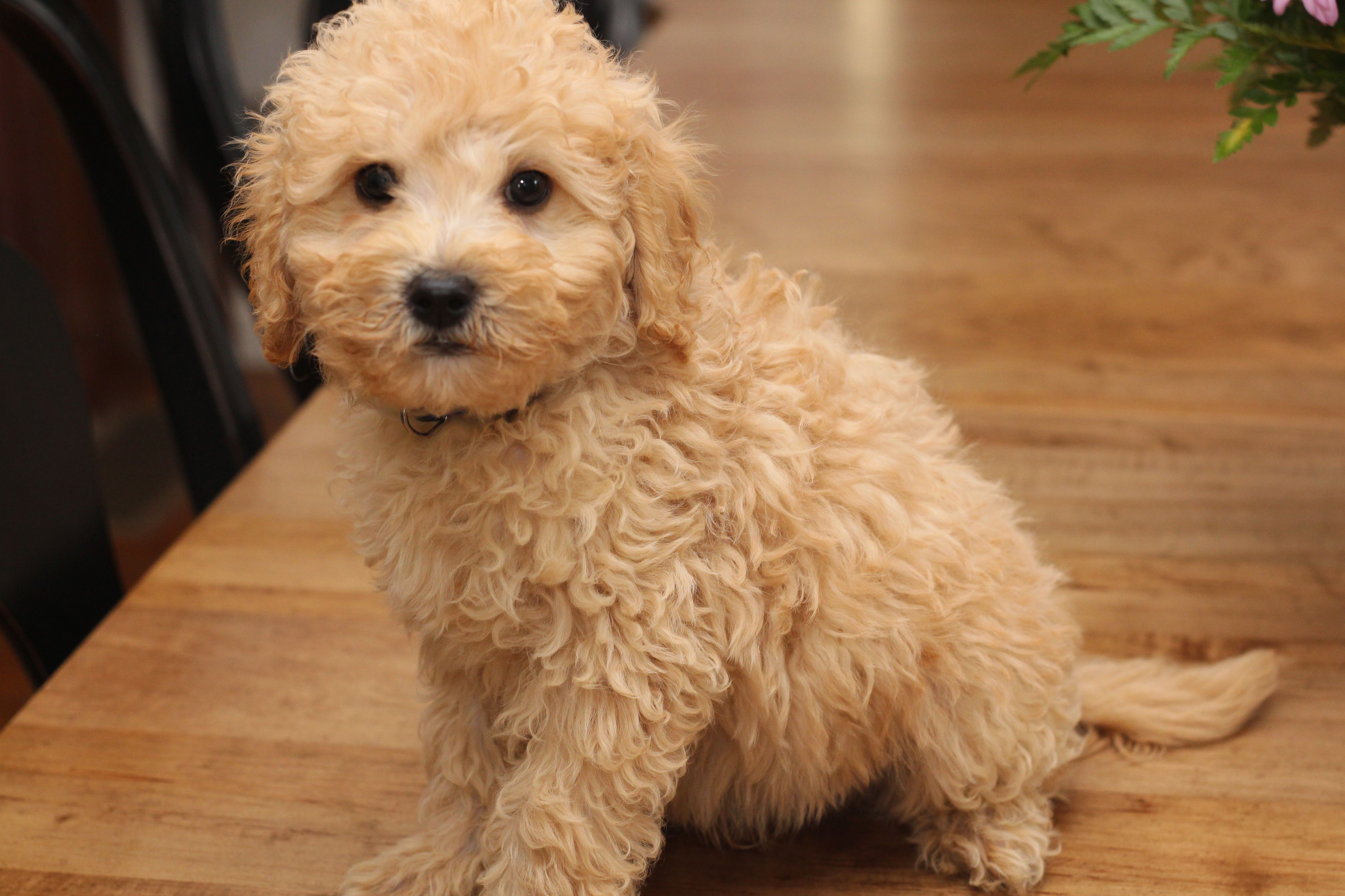 10 Week Old Mini Goldendoodle Puppy By Mimi At River Valley