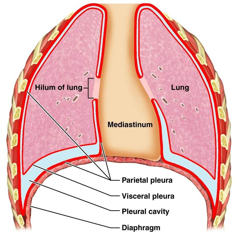 Lung diagram labeled google search amazing lung diagram labeled google search pooptronica Image collections