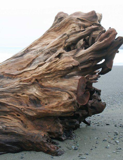 Redwood tree root on Northern California coast. Photo by Curtis Mekemson.