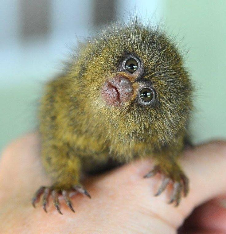 Image Result For Pygmy Marmoset Natural Pygmy Marmoset Marmoset Monkey Animals