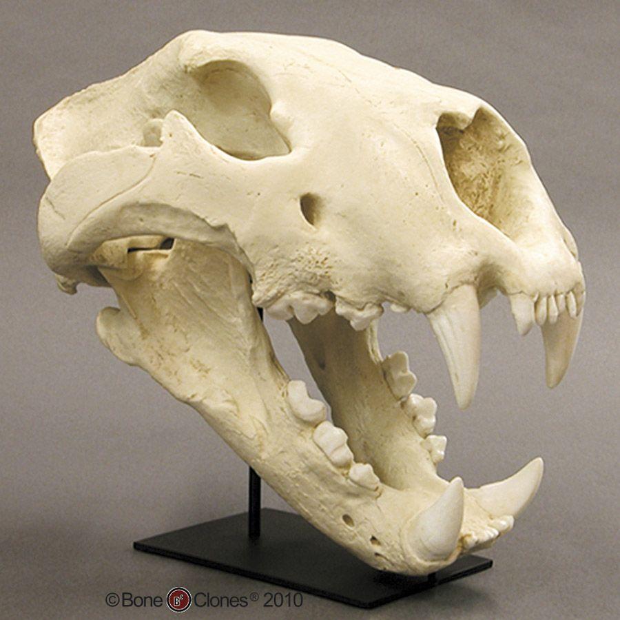American Lion Skull | Creature Ref | Pinterest | American lion ...