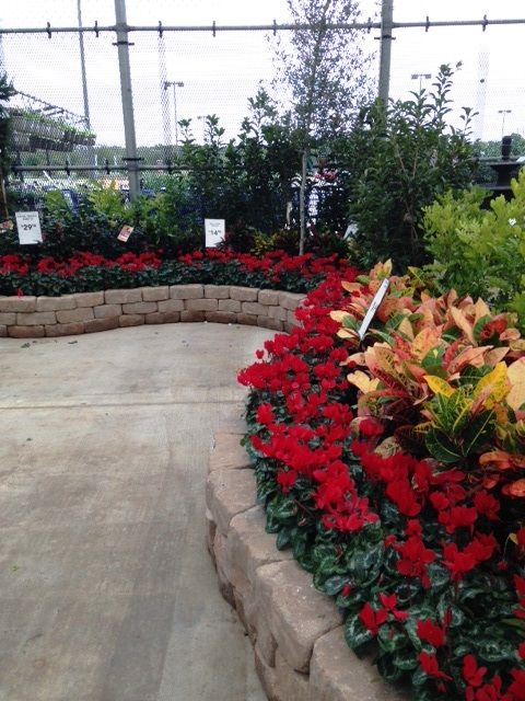 Loweu0027s 2513 Austin Tx #Lowes #pansy #cyclamen #fall #flowers #gardening