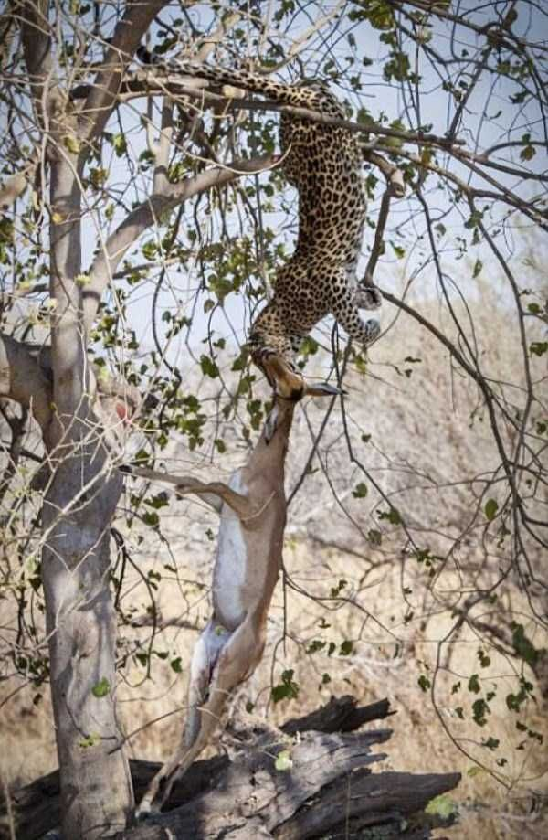Young Leopard Showing His Innate Hunting Skills 10 Photos