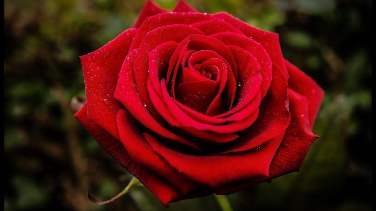 خلفيات ورود جميلة جدا خلفيات ورود Rose Beautiful Roses Red