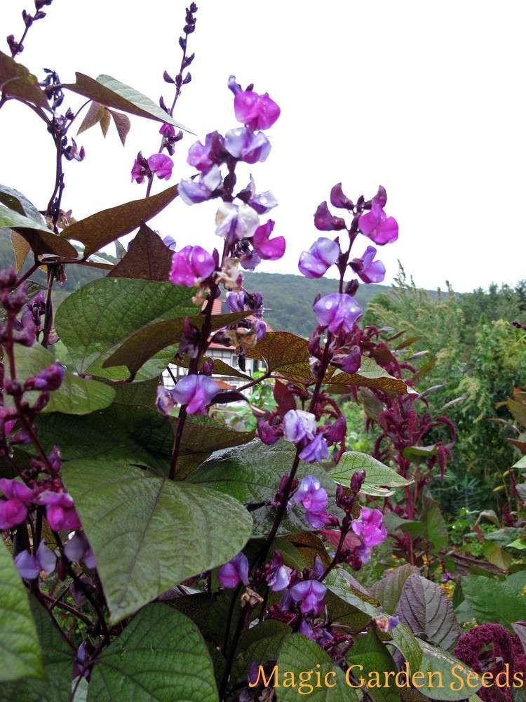 Helmbohne Lablab Purpureus 2 Helmbohne Gartensamen Saatgut