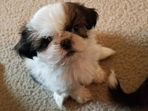 Litter Of 3 Shih Tzu Puppies For Sale In Olympia Wa Adn 54798 On