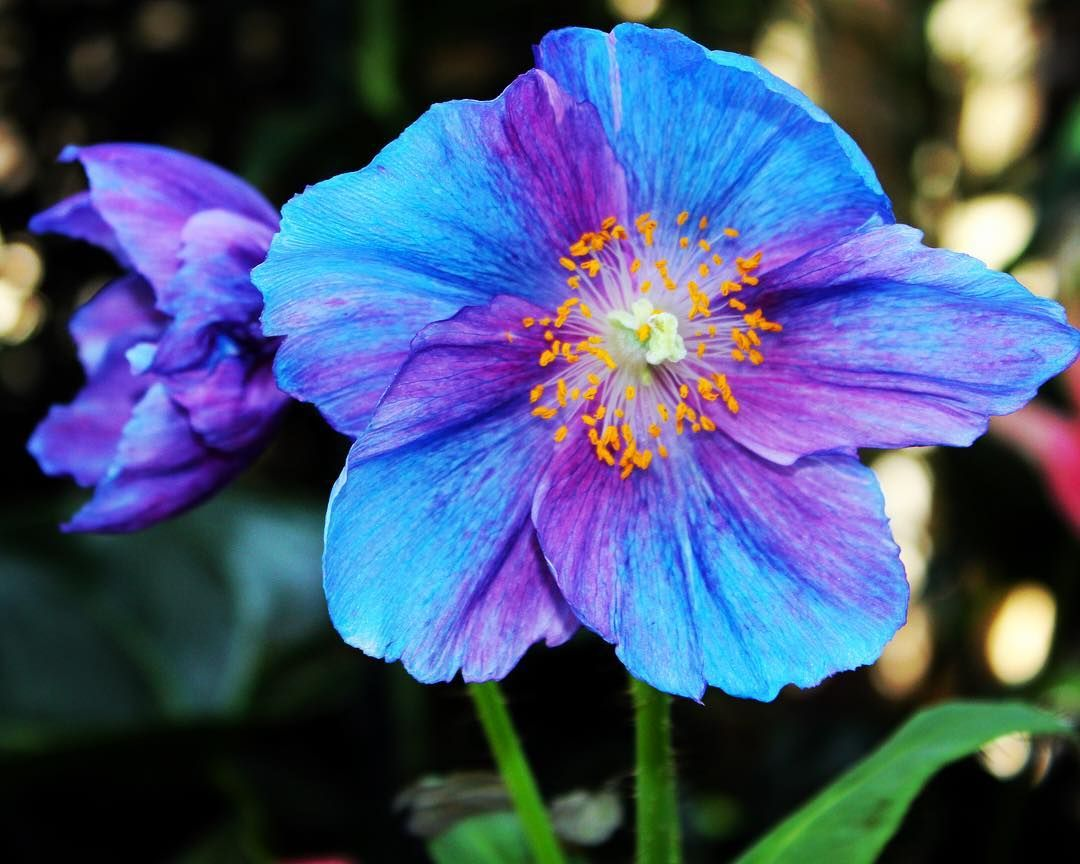 Himalayan Blue Poppy took my breath away when I saw these beauties at #longwoodgardens. I bought some seeds online to see if I can grow them in my garden. #gardenstyle #flower #rainbow_petals_  #floral_lover