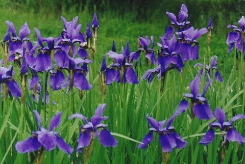Iris Sibirica Tycoon 15cm Pot Size Read More At The Image Link Plantsseedsandbulbs Bearded Iris Showy Flowers Plants