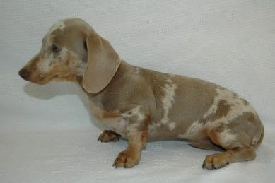 Dapple Dachshund Puppies For Sale Also Piebald Brindle Dapple