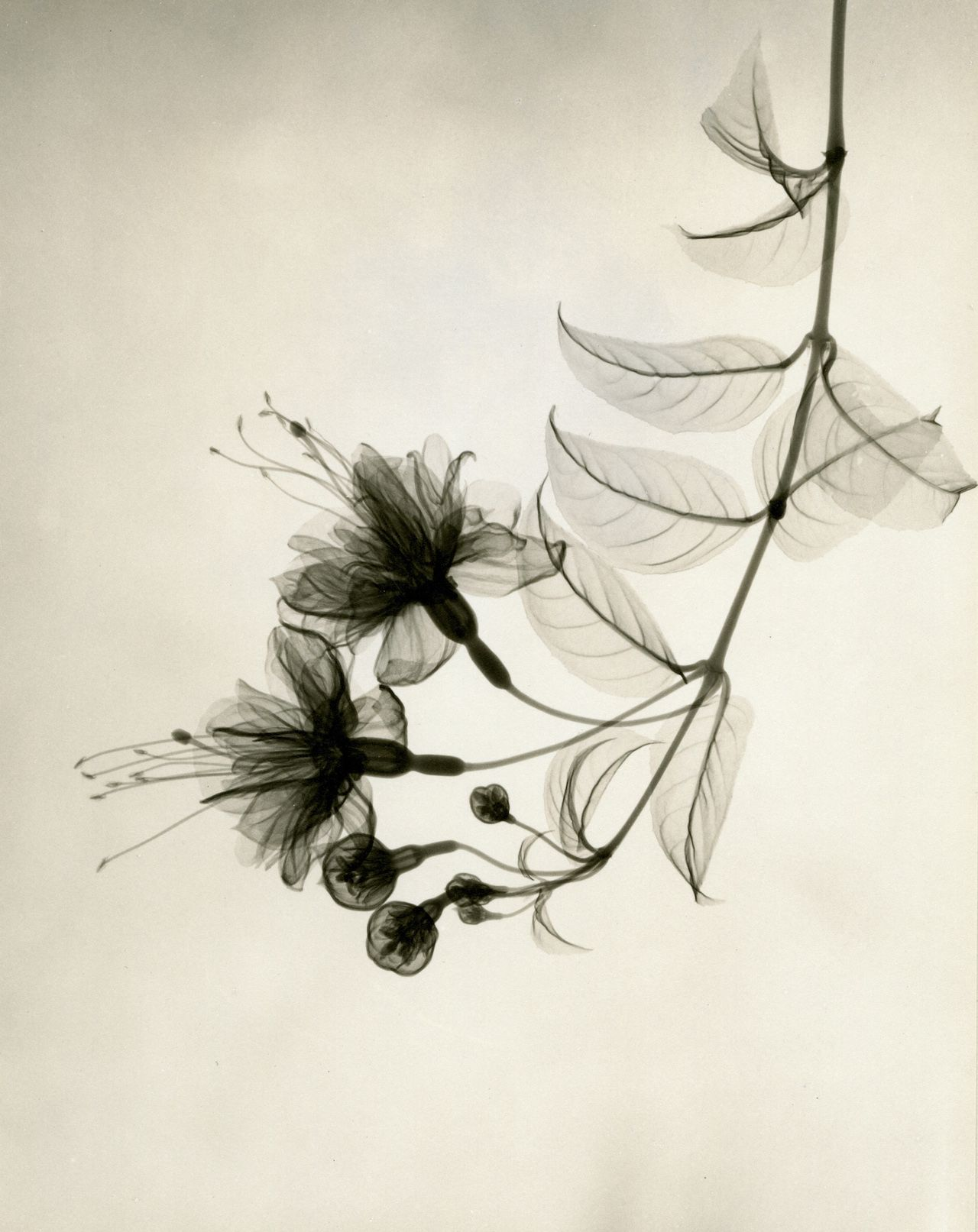 A radiologistus xray photographs of flowers from the s photo