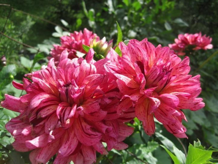 Dahlias in the Garden Growing flowers Pinterest Dahlia