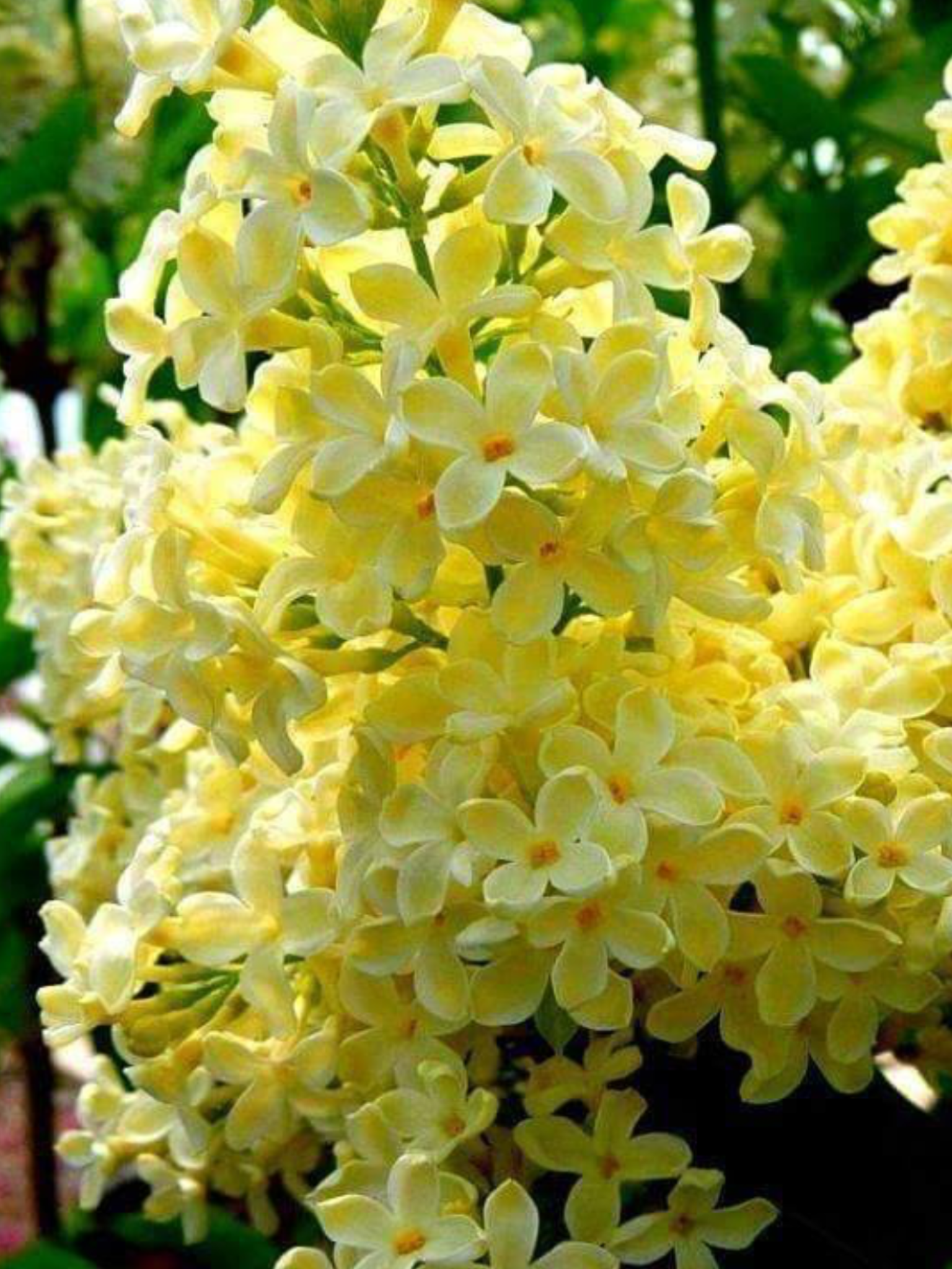 Yellow Lilacs I Beleive The Real Colour Is More Of A Creamy Pale