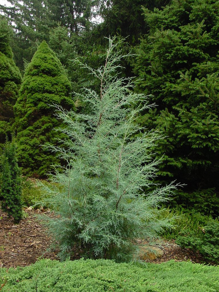 Cupressus 'Carolina Sapphire' | Fast Growing Evergreens for Quick Privacy > http://hubpages.com/living/Fast… | Evergreen landscape, Landscape trees, Conifers garden