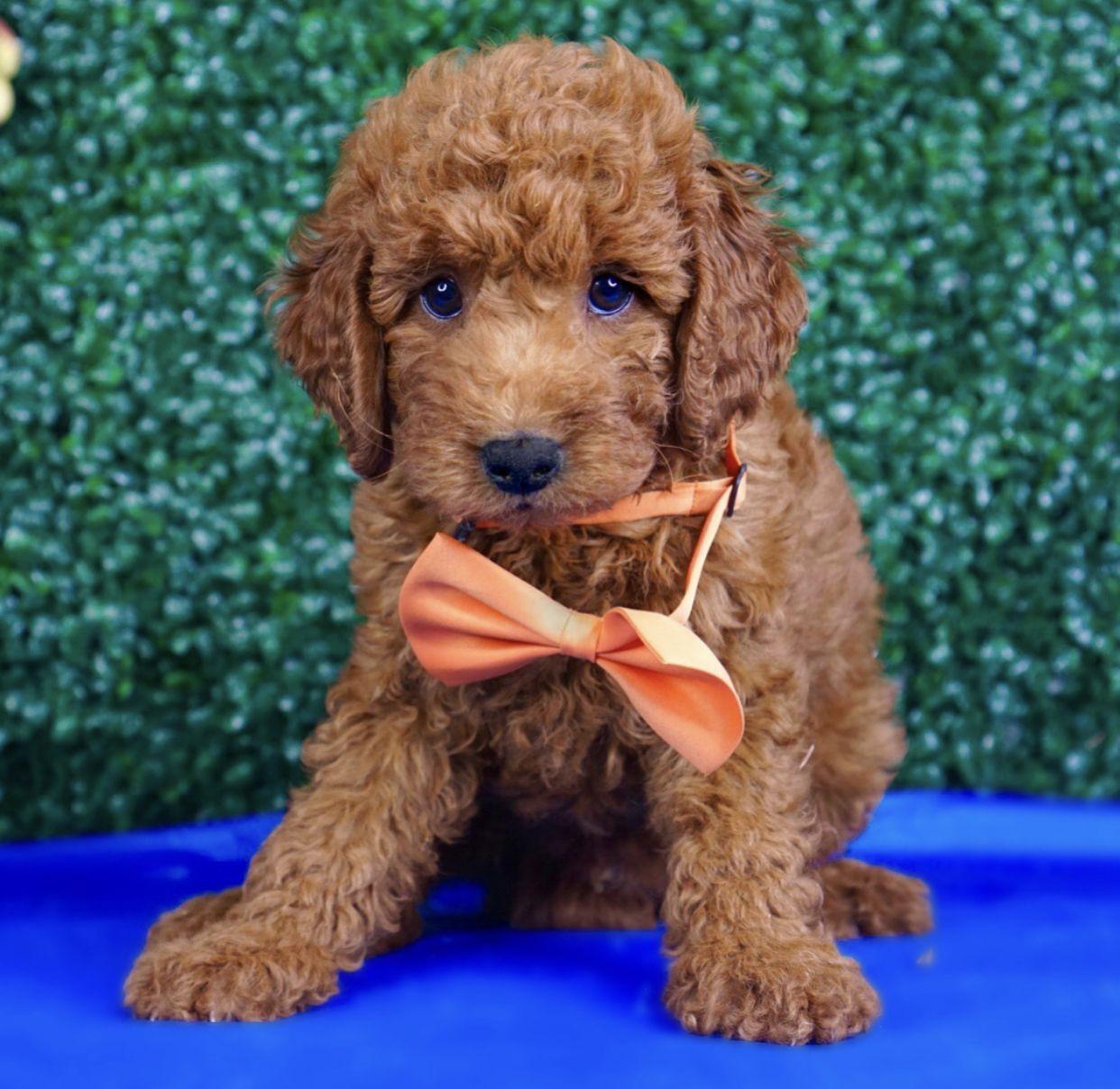 Goldendoodle Labradoodle Labradorretriever Goldenretriever Puppies Puppy Teddybeardog Doodlepuppy Adora In 2020 Goldendoodle Teddy Bear Puppies Teddy Bear Dog