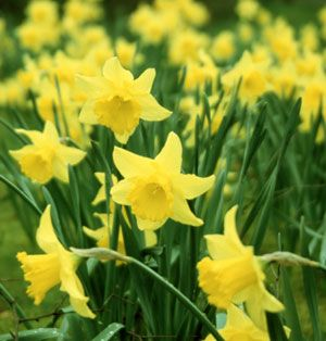 plant peas when the daffodils bloom