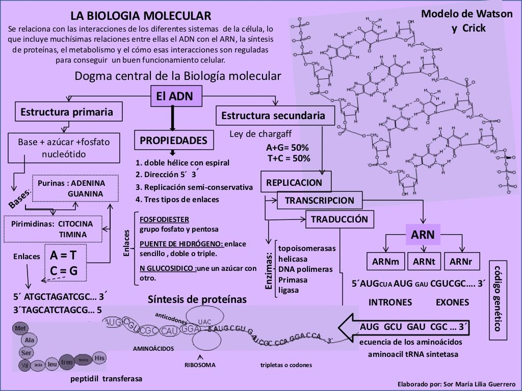Mapa Conceptual Adn Estructura Función Y Procesos Del
