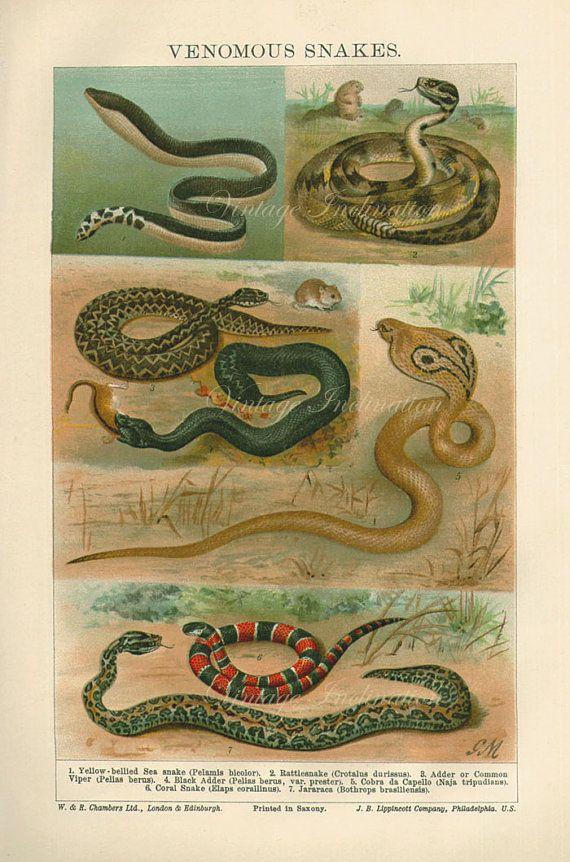 1922 Antique Chromollithograph Venomous By Vintageinclination Antique Prints Chromolithograph Snake