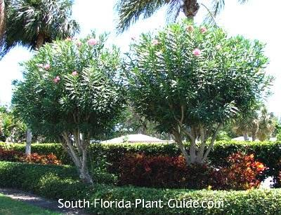 Oleander Tree Trees For Front Yard Florida Plants Drought Resistant Landscaping