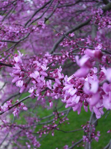 Purple Flower Tree Mit Bildern Bilder