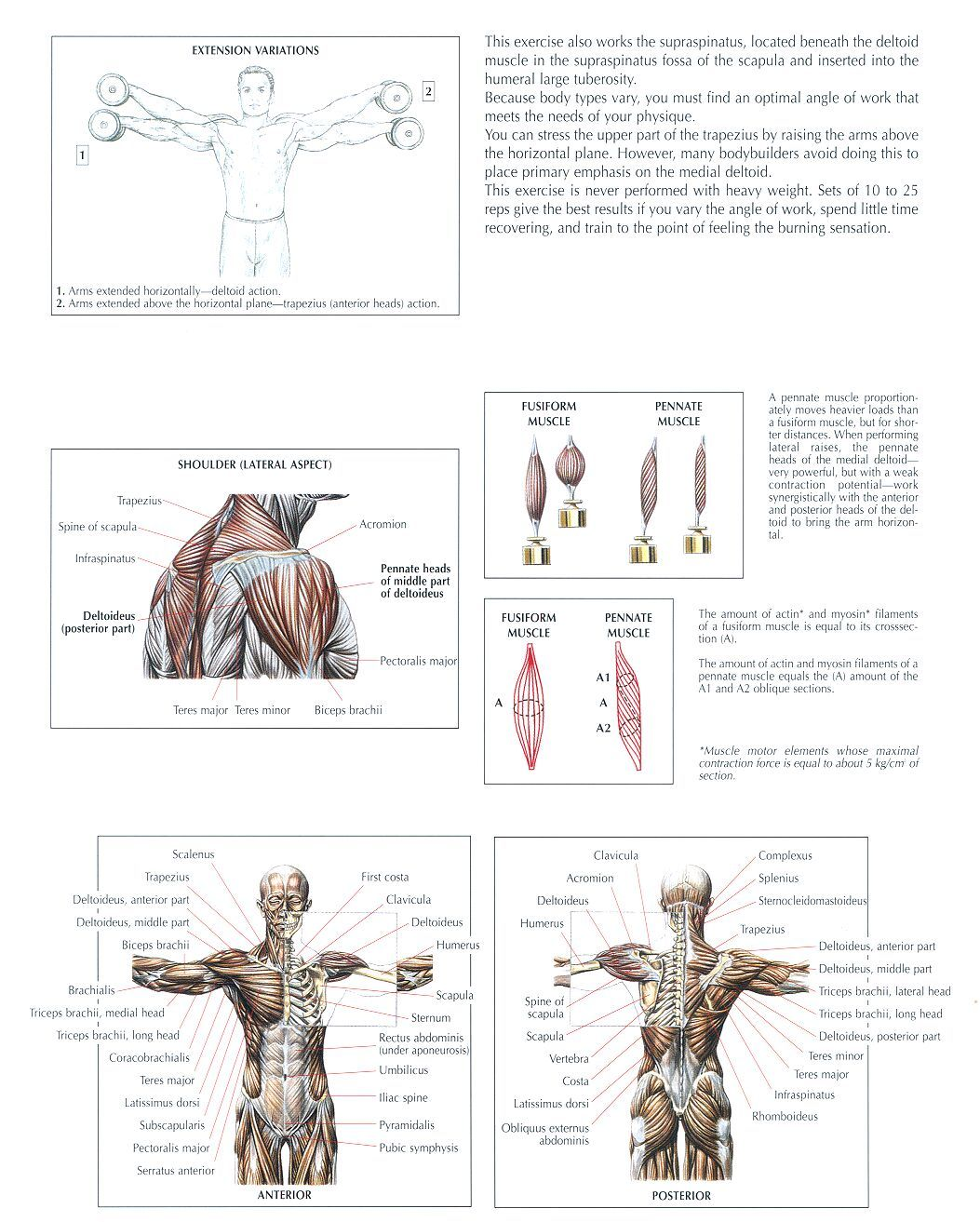 b0573a1561204 The anatomy of lifting (lots of pics) - Page 2 - Bodybuilding.com Forums