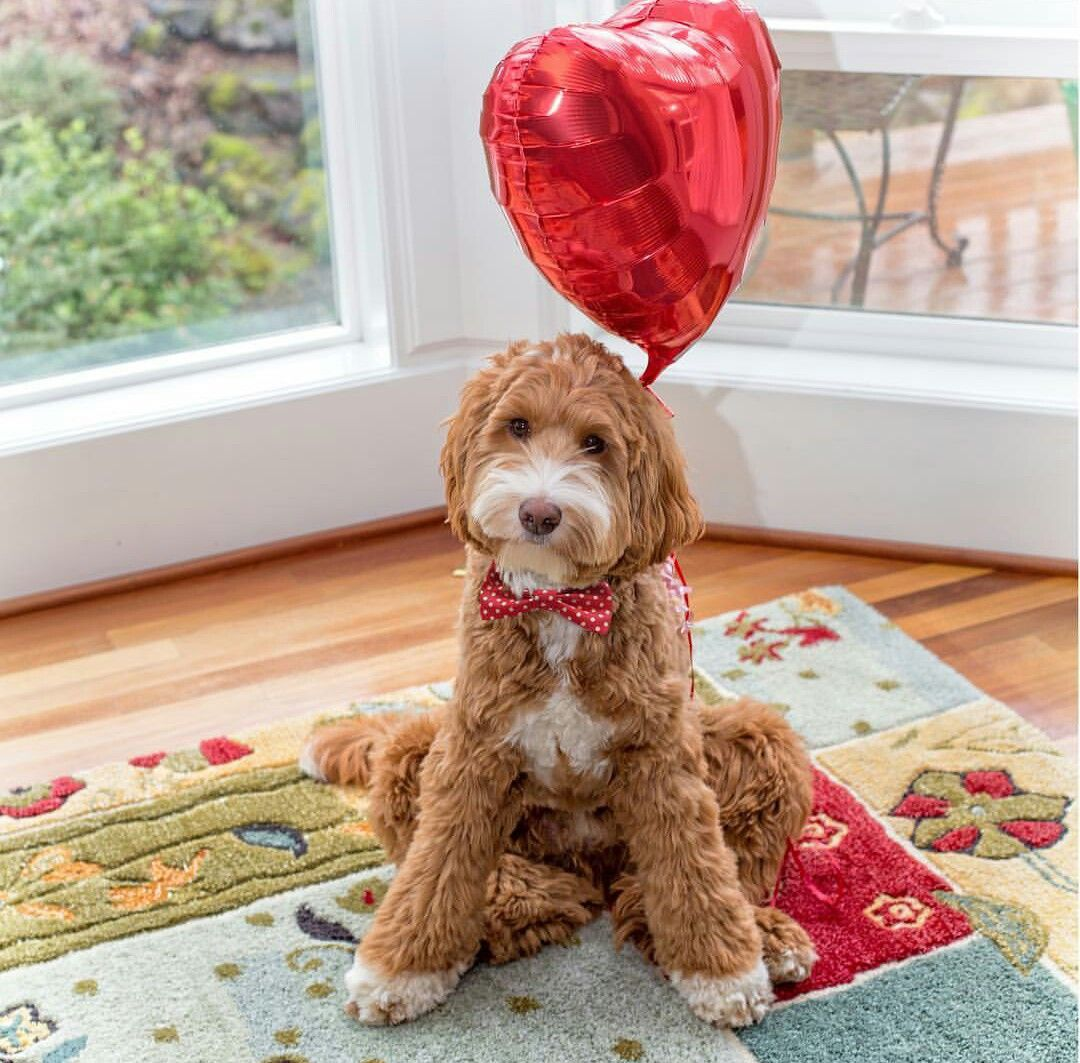 Pin by Brandy Payne Voss on REAGANDOODLE!♥ Goldendoodle
