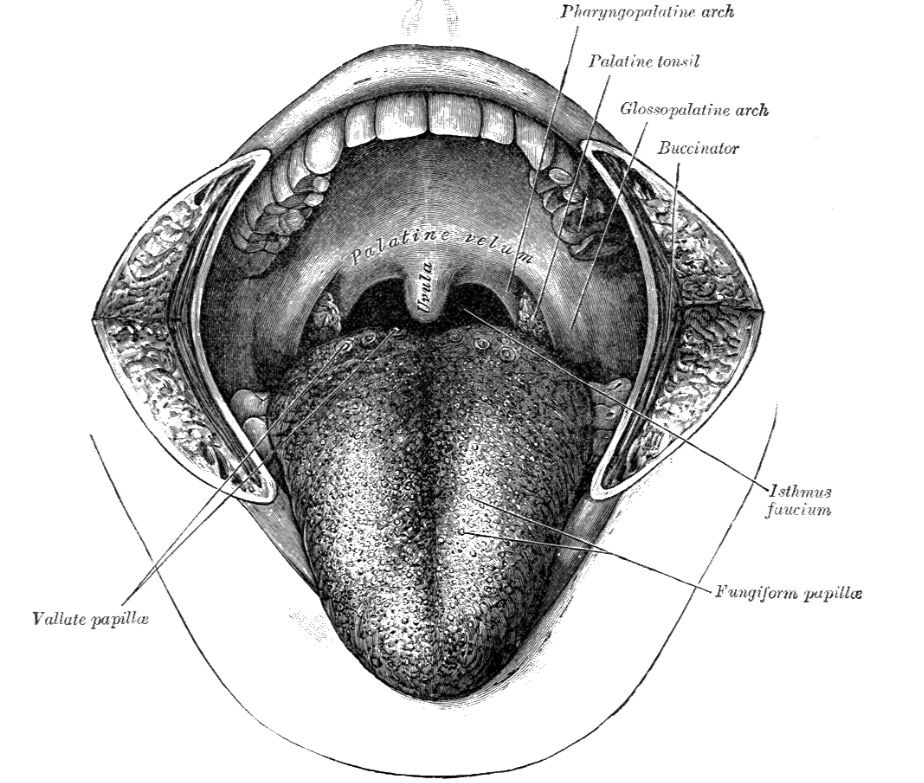Mouth Cavity | ANATOMY | Pinterest