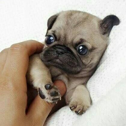 Pin By Georgia Krstic On Dogs Puppies Baby Pugs Cute