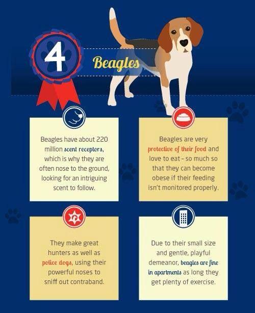 Beagle Facts Beagle Puppy Beagle Dog Beagle